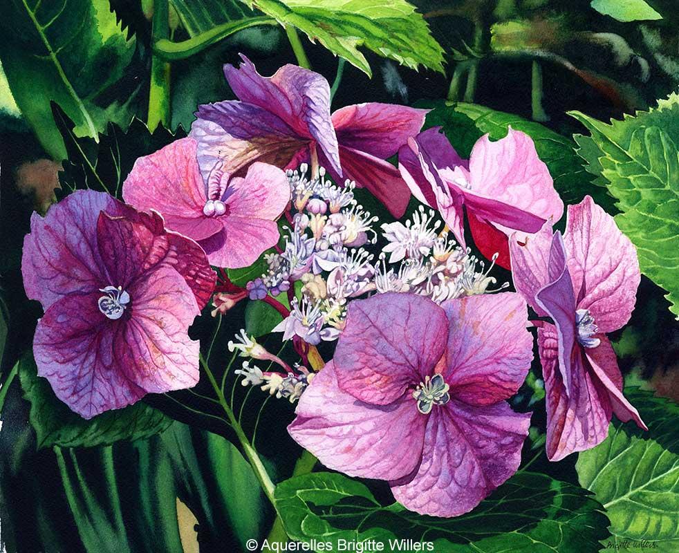 Hydrangea (36 x 44 cm)<br/>© Aquarelle Brigitte Willers.