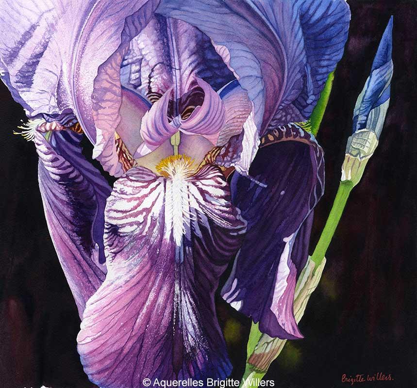 Iris mauve (40 x 43 cm)<br/>© Aquarelle Brigitte Willers.